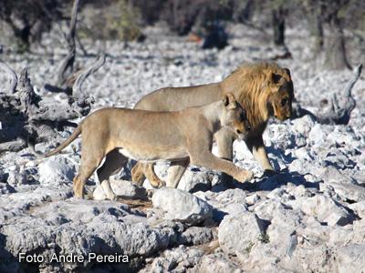 Leões na Namíbia